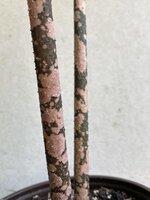 amorphophallus-paeoniifolius-petioles.jpg